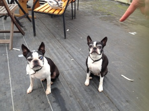 The twins: French bulldogs at Elm Nursery